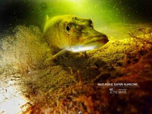 safari nurkowe nurek,pl 00260a